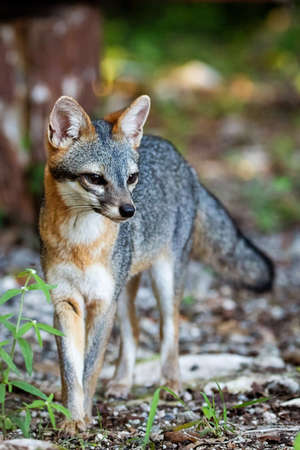 Cute looking gray fox isolated full size portrait