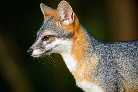 Cute looking gray fox isolated close up portrait Banco de Imagens