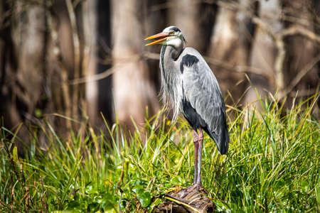 Cute great blue heron standing in the swamp