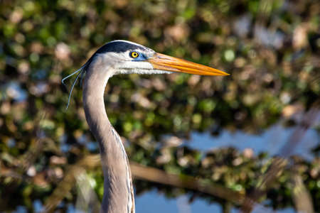 Cute great blue heron portrait standing in the swamp close up