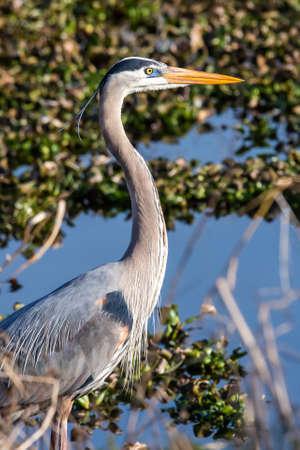 Cute great blue heron portrait standing in the swamp