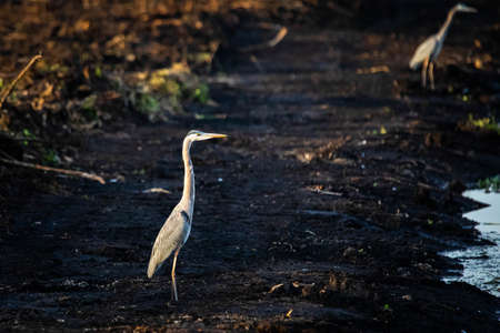 Great blue heron standing in the swamp at sunset