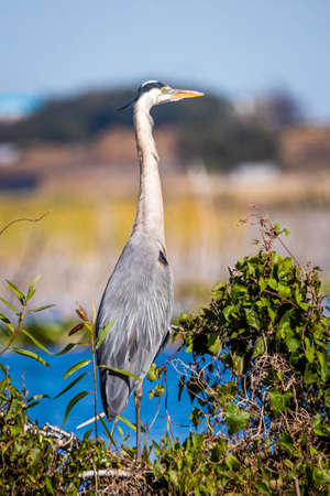 Cute great blue heron standing in the swamp at day