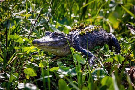 Large alligator laying in the grass under the sun alone