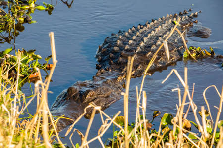 Large alligator laying in the water under the sun alone Standard-Bild