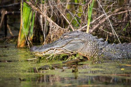 Portrait of alligator head in the water resting under the sun Zdjęcie Seryjne