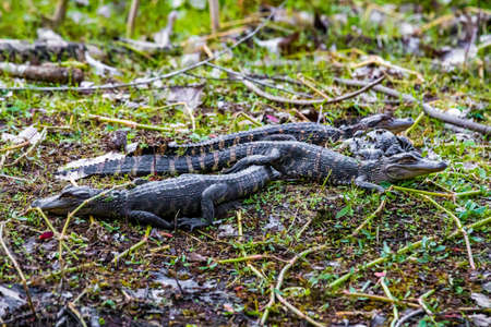Group of little baby alligators resting on the grass at day Zdjęcie Seryjne