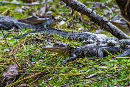 Group of little baby alligators resting on the grass at day Standard-Bild