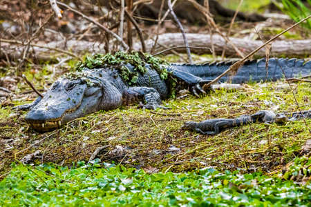Mother with a group of little baby alligators resting on the grass at day