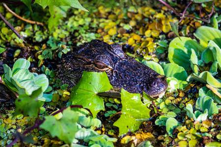 Portrait of alligator head in the water Zdjęcie Seryjne