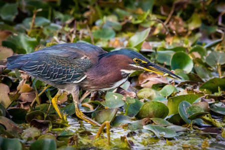 Close up green heron fishing in the pond