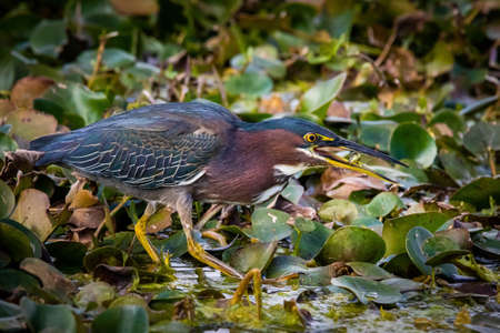 Close up green heron fishing in the pond at sunlight