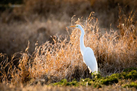 Great white egret standing at sunset alone fishing