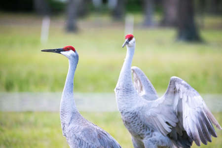 Pair of sandhill cranes during mating season close up together