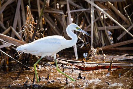 Beautiful snowy egret fishing in the swamp pond alone