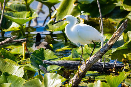Beautiful snowy egret fishing in the river pond on the branch Standard-Bild