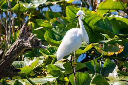 Beautiful snowy egret fishing in the river pond on the branch Zdjęcie Seryjne