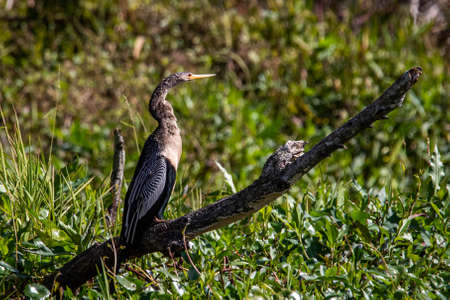 Beautiful female Anhinga snake neck bird at sunny day portrait Standard-Bild