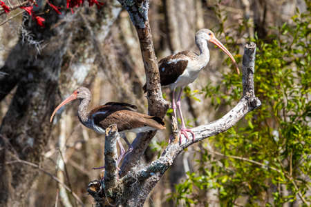Pair of american Juvenile White Ibis on a tree at day Zdjęcie Seryjne