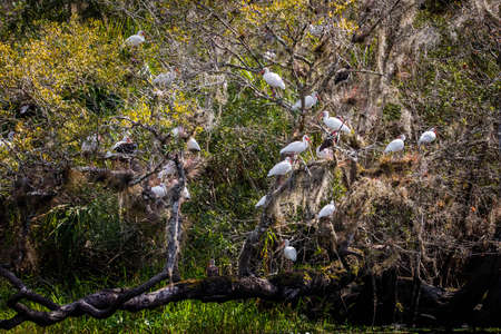 Many american Juvenile White Ibis on a tree in forest river