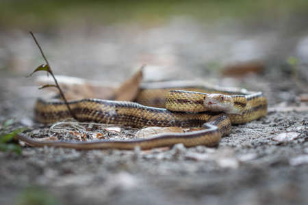 Isolated close up portrait of eastern yellow ratsnake on the ground