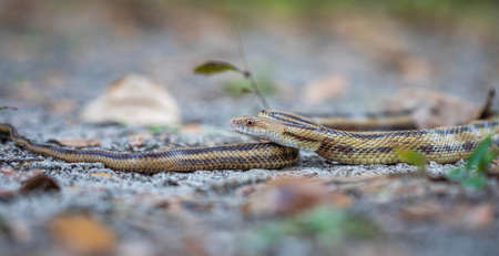 Isolated close up portrait of eastern yellow ratsnake