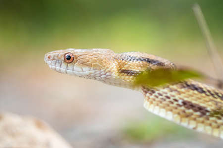Isolated close up portrait of eastern yellow ratsnake on the ground Standard-Bild