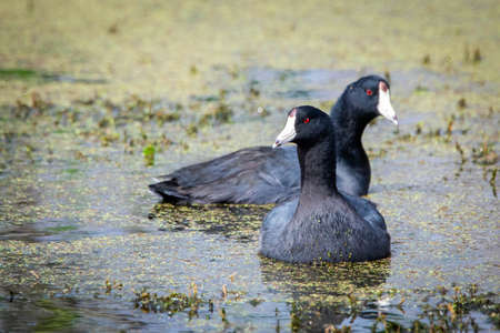 American coot duck swimming in the water pond close up