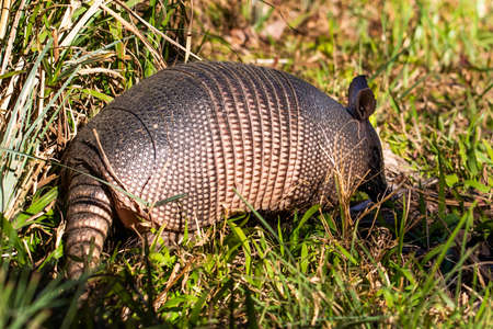 Cute armadillo animal walking in the forest close up Zdjęcie Seryjne