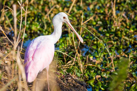 Cute pink Roseate spoonbill portrait in the swamp close up