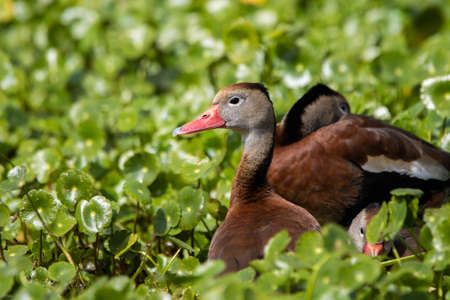 Black-bellied Whistling-Duck in the green swamp at summer day