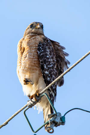 Red-shouldered hawk portrait close up sitting outside at day