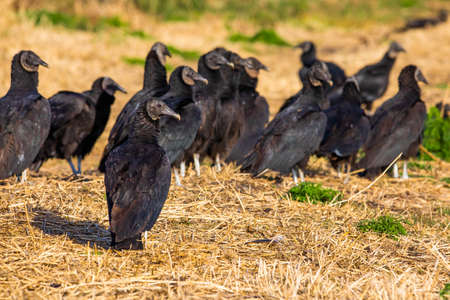 Close up portrait of group of black vultures at sunlight day