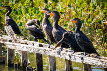 Group of cormorant aquatic birds sitting on bench on the sun Zdjęcie Seryjne