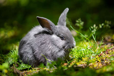 Cute little grey bunny rabbit on the grass meadow eating portrait