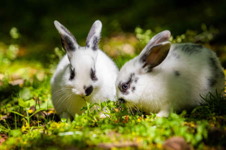 Pair of cute little baby rabbits eating grass on the meadow Banco de Imagens