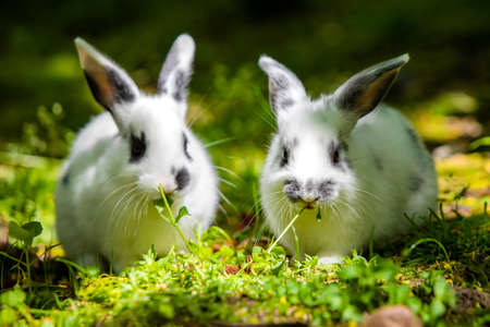 Pair of cute little baby rabbits eating grass on the meadow close up Zdjęcie Seryjne