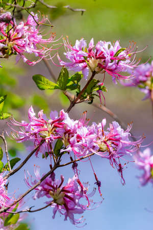 Fresh blooming pink azalea bush outdoor in spring forest