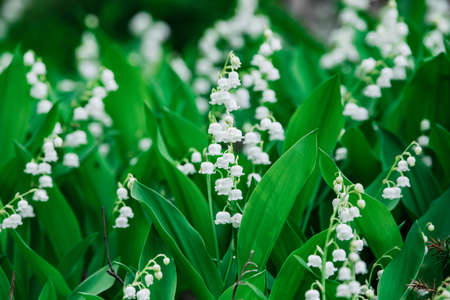 Beautifyl group of Lily of the valley spring wildflowers in the forest