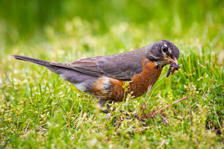 Robin garden bird with mouth full of worms in spring