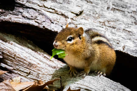 Cute and curious chipmunk eating leafs close up in the tree Archivio Fotografico
