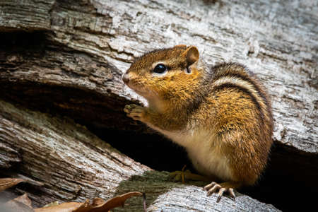 Cute and curious chipmunk eating leafs close up