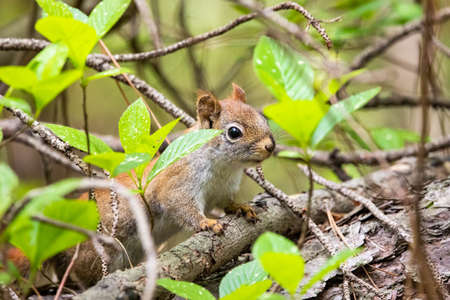Curious young squirrel in the forest staring in the camera