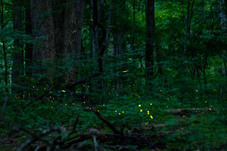 Real fireflies lights in the forest at night magic scenic view nobody