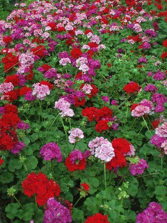 untitled key: geramius flower texture Stock Photo