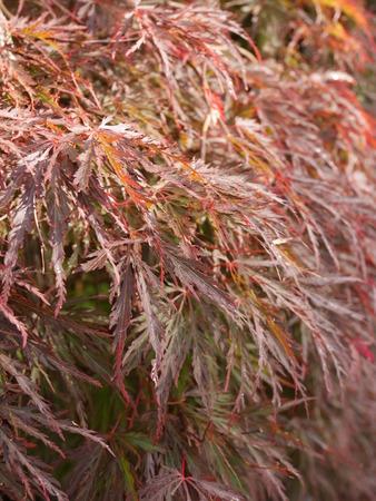 helechos: helechos rojos Foto de archivo
