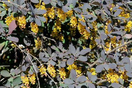 barberry: Barberry blossoms