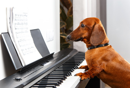 Funny dog playing the piano Stockfoto