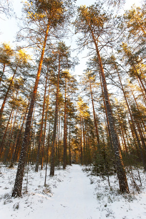 piny: Winter landscape of piny wood in Karelia