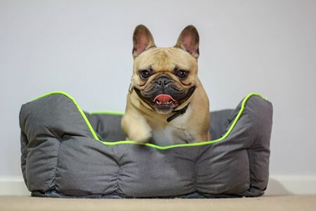 French bulldog climbing out of dog bed Banque d'images - 132558568